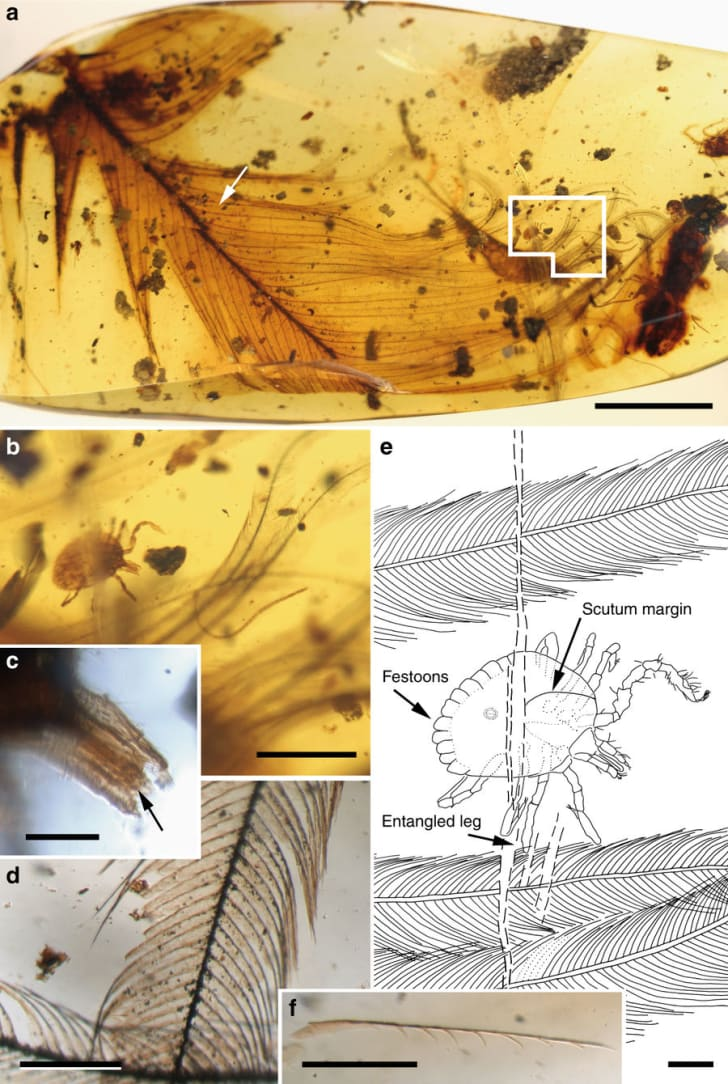 A 99-million-year-old tick encased in amber, grasping a dinosaur feather.