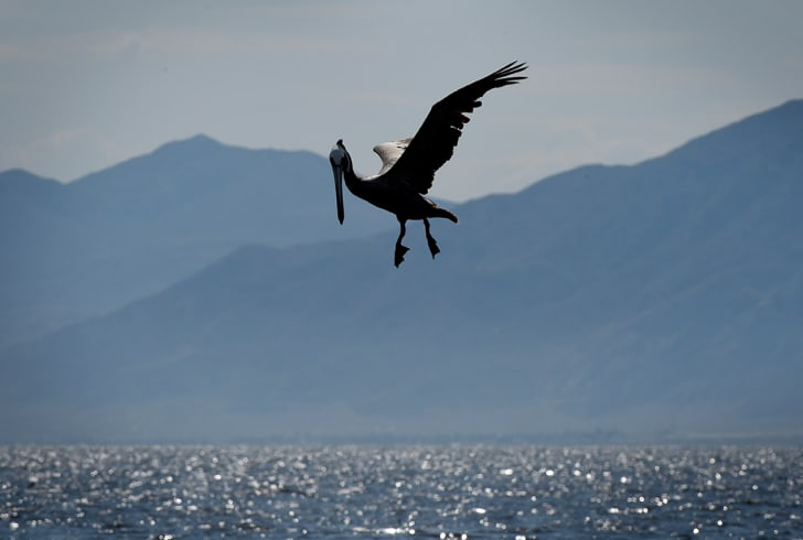 pelican flies above salton sea