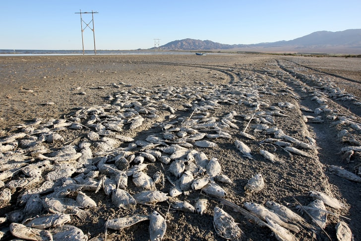 dead fish on salton sea shore