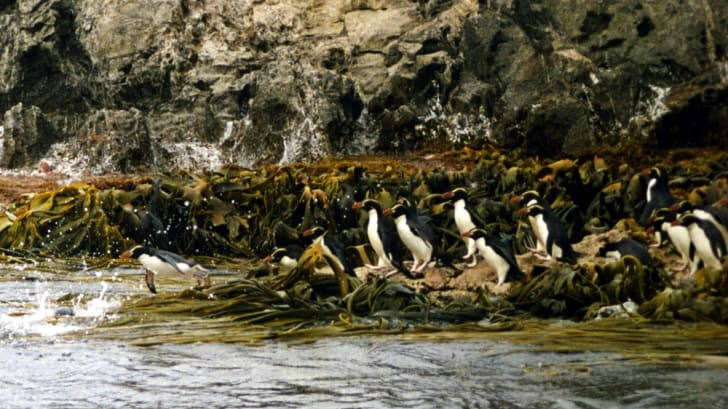 Snares penguins dive into the water.