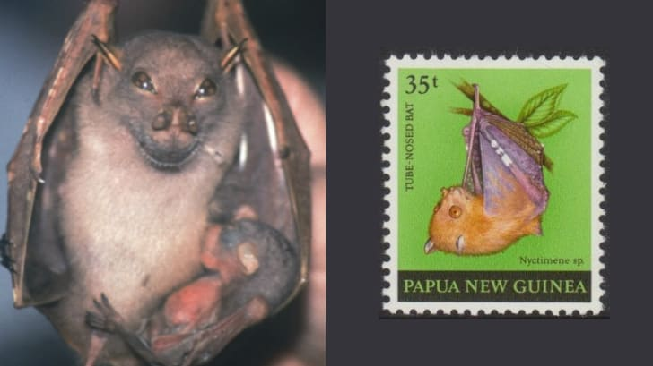 A happy tube-nosed fruit bat with her baby and a postage stamp featuring an illustration of an unknown tube-nosed fruit bat.