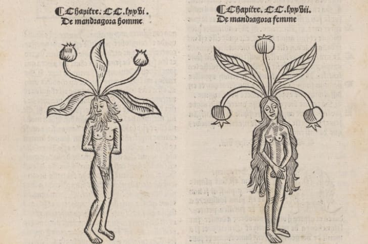 Illustrations of male and female mandrakes.