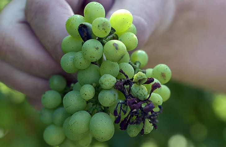 flyspeck mold on green grapes