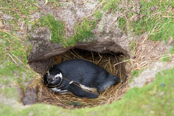 Magellanic penguin nesting in the ground