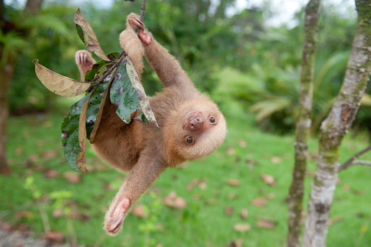 a sloth hanging upside town