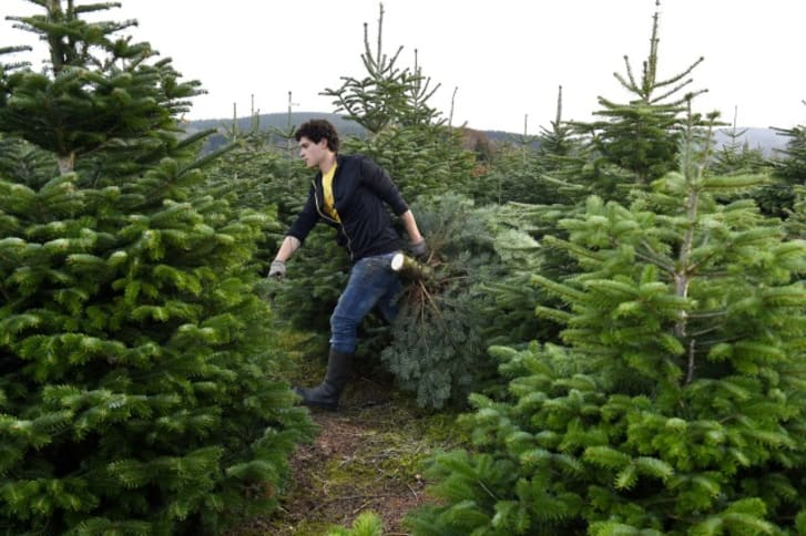 Photo of a man carrying a Christmas tree