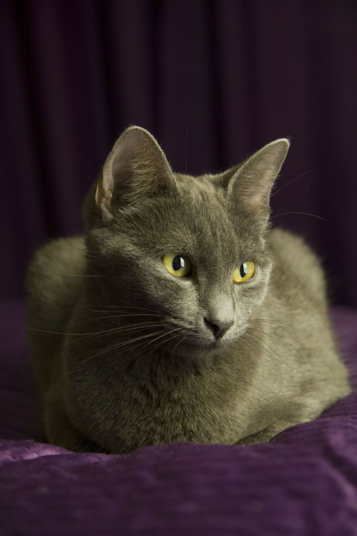 8 Elegant Facts About Russian Blue Cats | Mental Floss