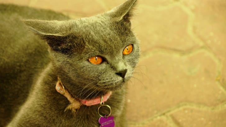 7 Elegant Facts About Chartreux Cats | Mental Floss