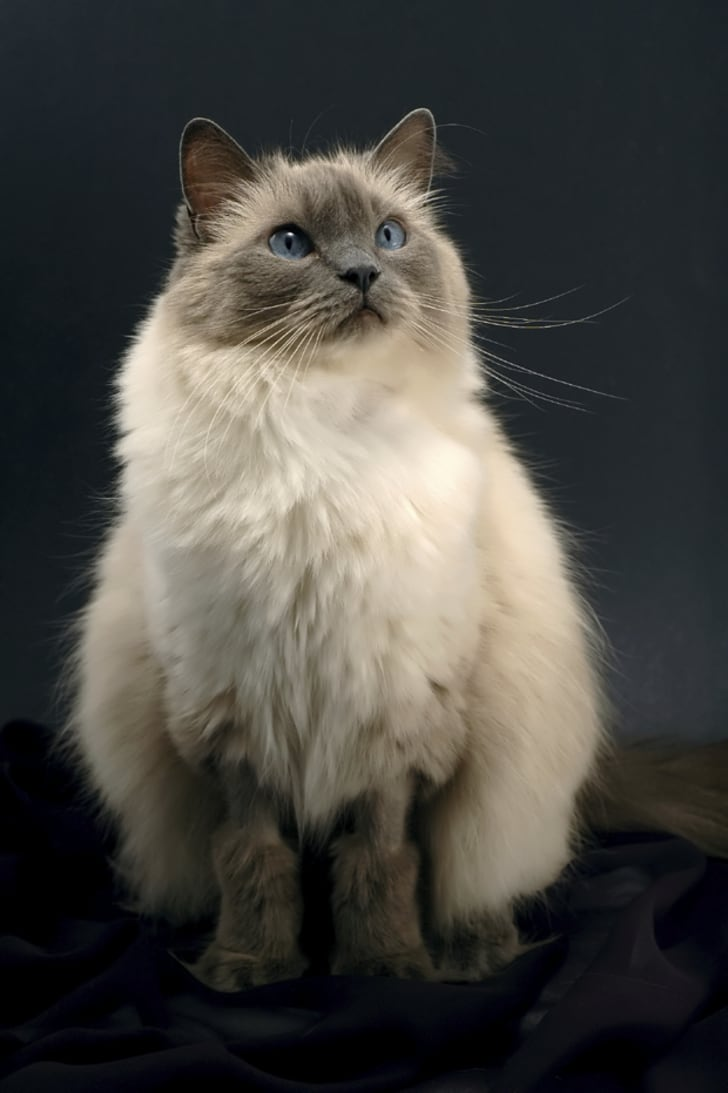 Are asian longhair cat breed are absolutely