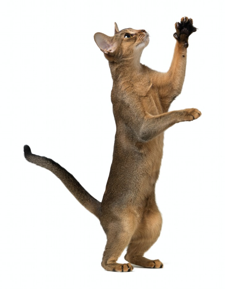 7 Agile Facts About Abyssinian Cats | Mental Floss