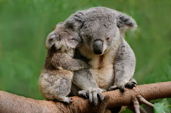 Mother koala and baby koala snuggling