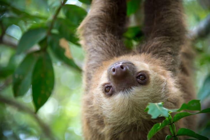 Young sloth hanging upside down in a tree