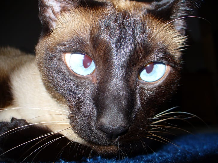 13 Facts About Siamese Cats | Mental Floss