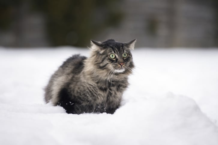 12 Huge Facts About Maine Coons   Mental Floss