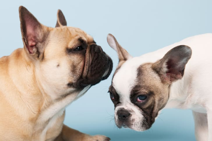11 Facts About French Bulldogs | Mental Floss