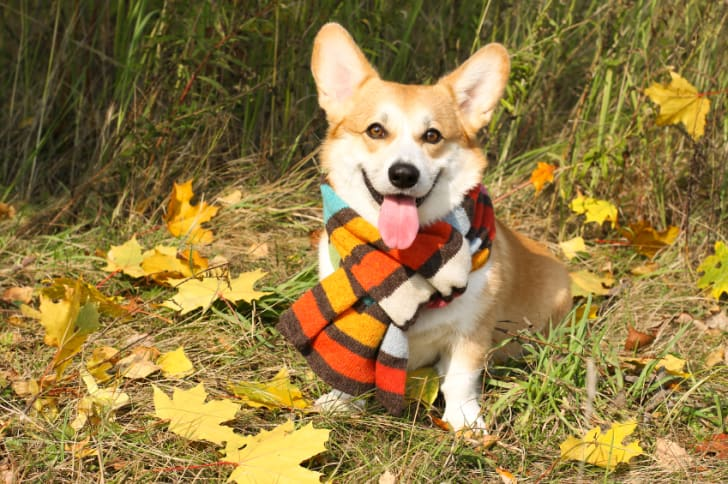 welsh Corgi Pembroke sitting in autumn leaves