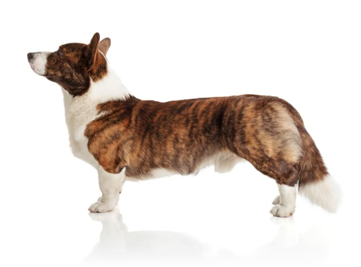 Photo of a Welsh Corgi Cardigan