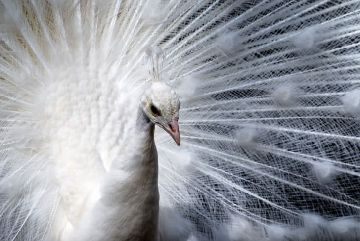 f90d9ea8e43e Thanks to selective breeding, it's common for captive peafowl to buck the  iridescent trend for all white feathers. This is called leucism, and it's  due to a ...
