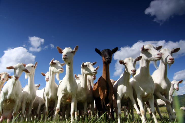 15 Amazing Things You Probably Didn't Know About Goats