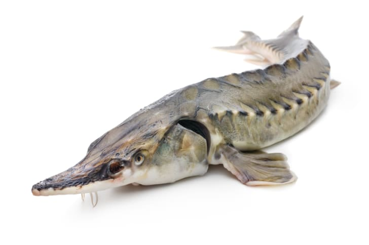 Photo of a lake sturgeon