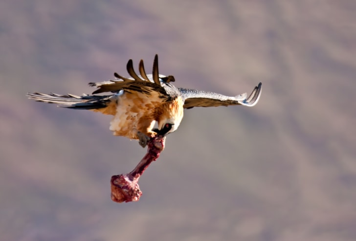 11 Facts About the Bone-Eating Bearded Vulture | Mental Floss