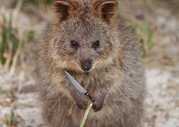 6 Things to Know About the Super Cute Quokka | Mental Floss