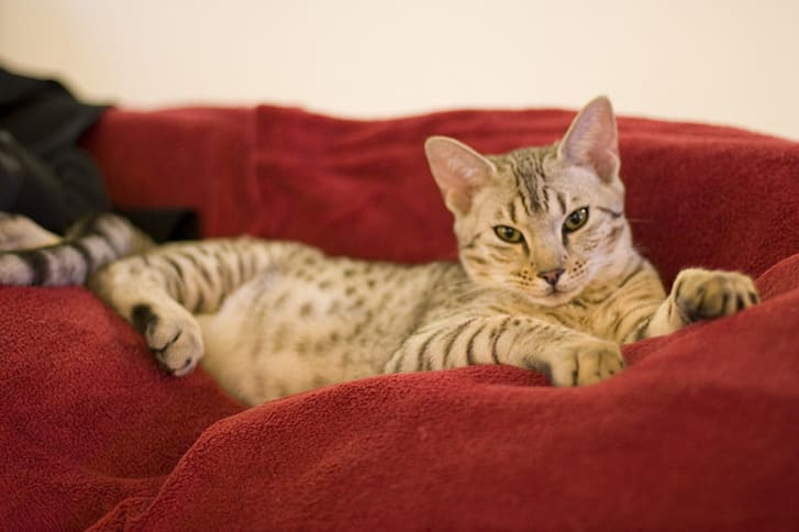 8 Cat Breeds with Wild Roots | Mental Floss