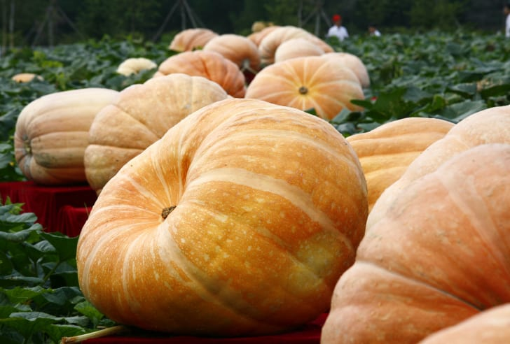 Giant pumpkins in a field in China