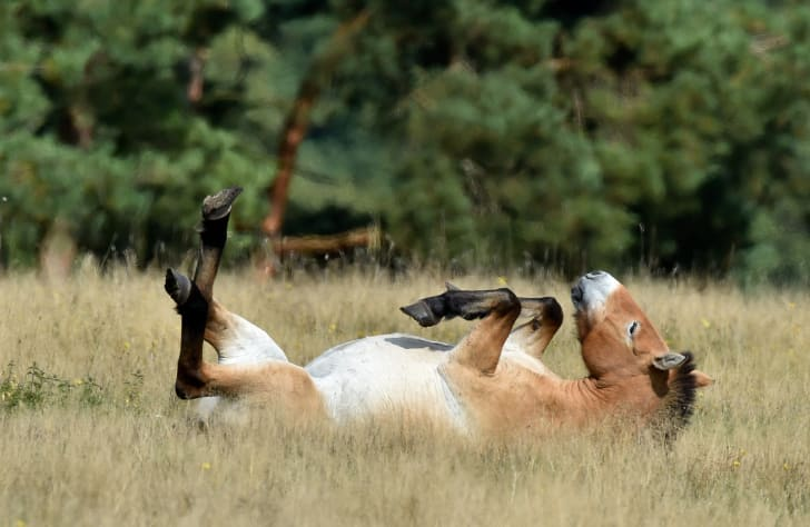 A Przewalski's horse lays in a meadow