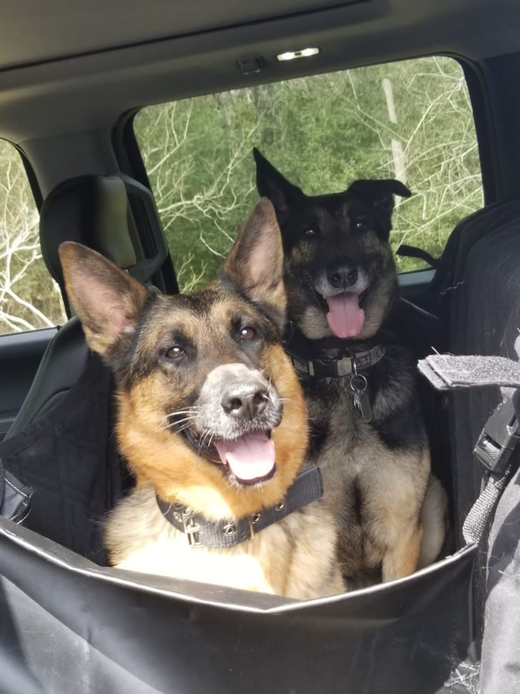 Two dogs in the backseat of a car.