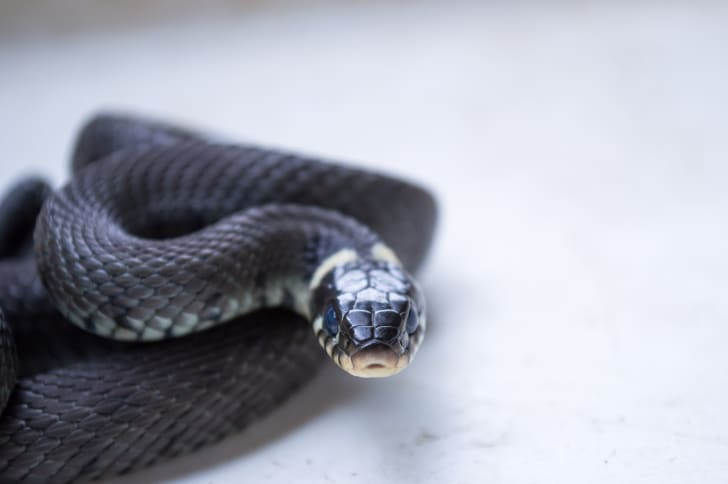 Black snake looking at the camera