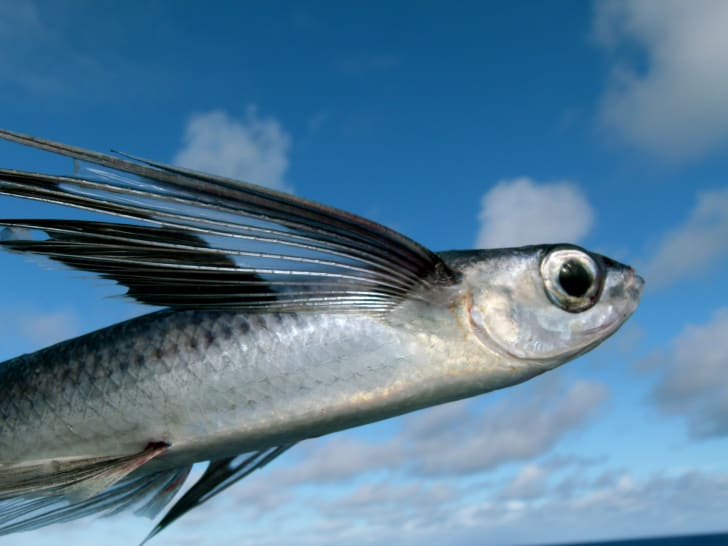 Close-up of a flying fish against blue and cloudy sky