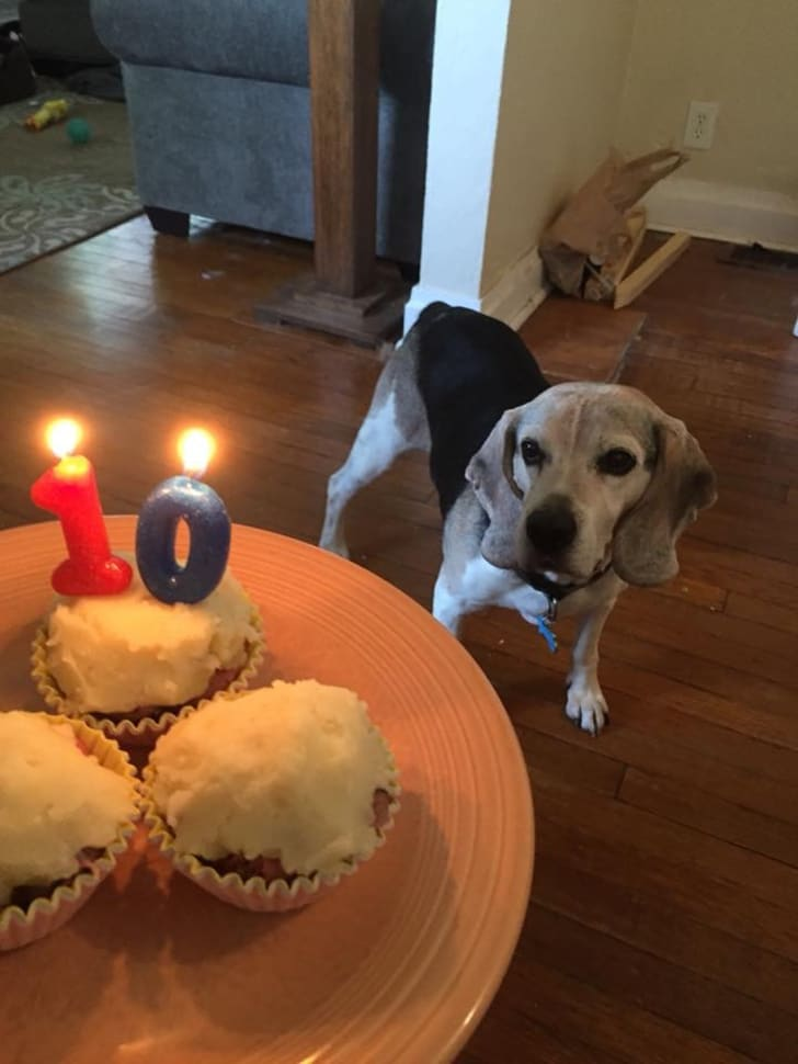 A dog with birthday cupcakes