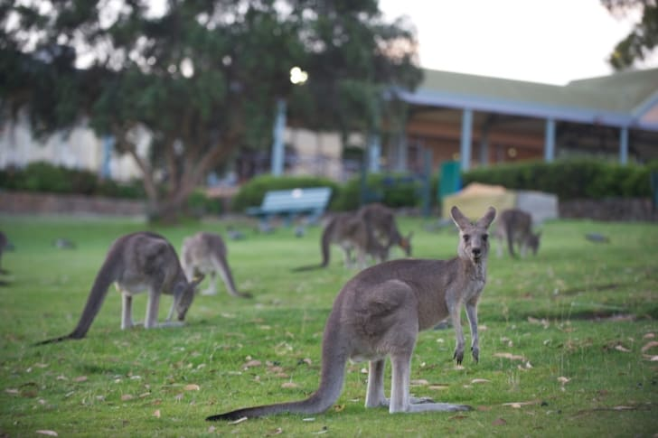 Kangaroos graze on Anglesea Golf Course