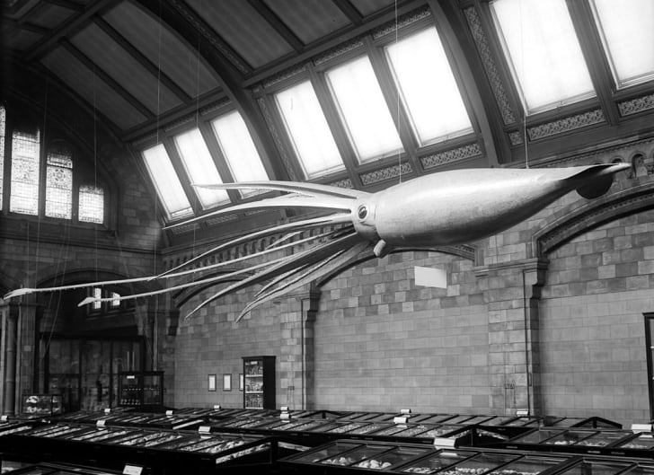 A model of a giant squid on display at the Natural History Museum in London in 1907