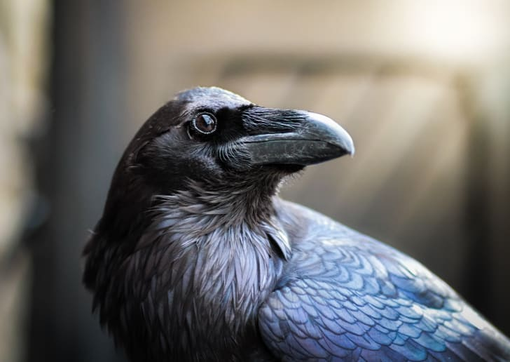 Close up of a handsome raven.