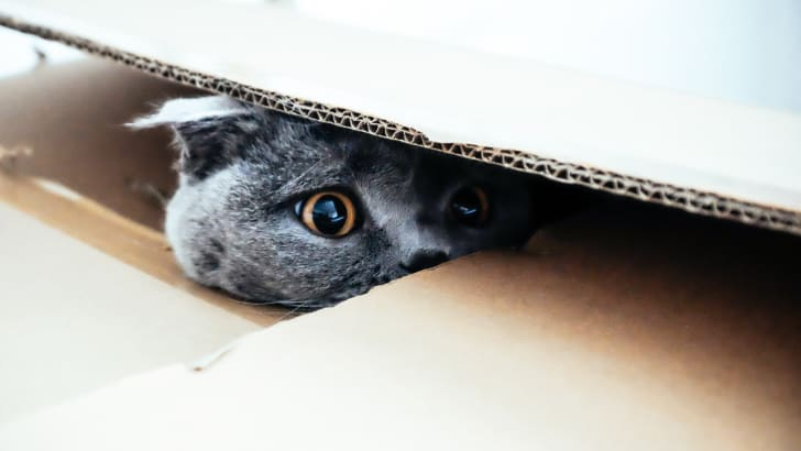 A gray Scottish Fold cat peeks out from inside a cardboard box