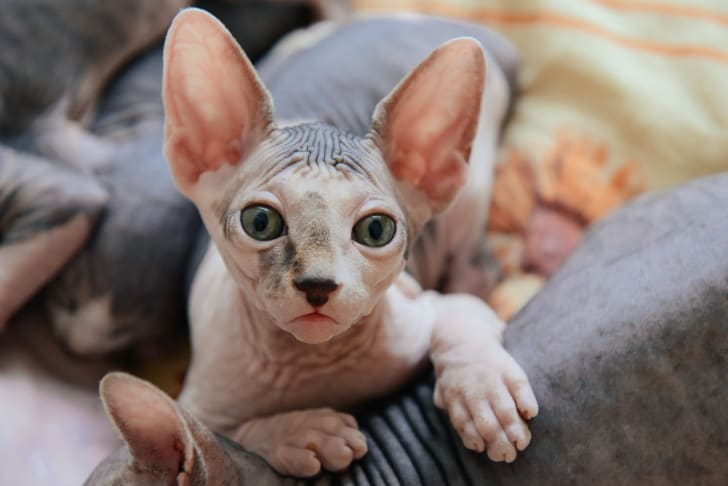 Small male sphinx cat with ears up lying down