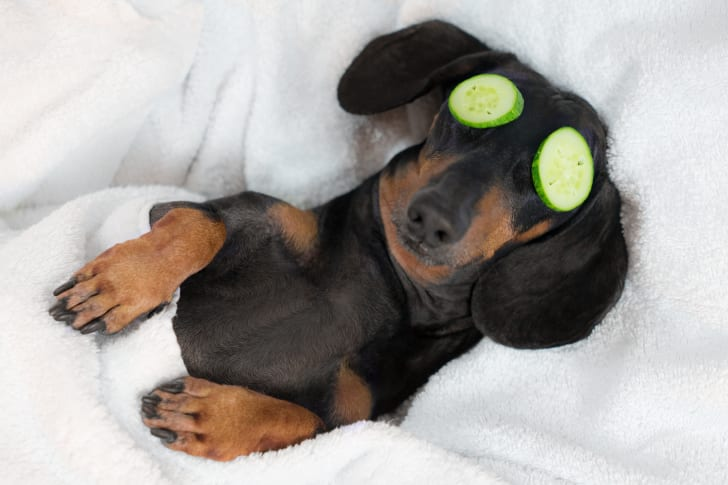 A black and tan Dachshund with cucumber slices on its eyes