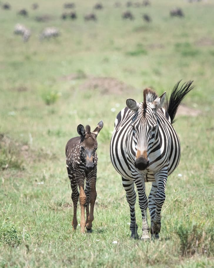 Zebra foal with spots walking with mother.