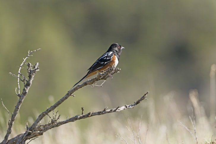 The black and brown Spotted Towhee in Theodore Roosevelt National Park in North Dakota.