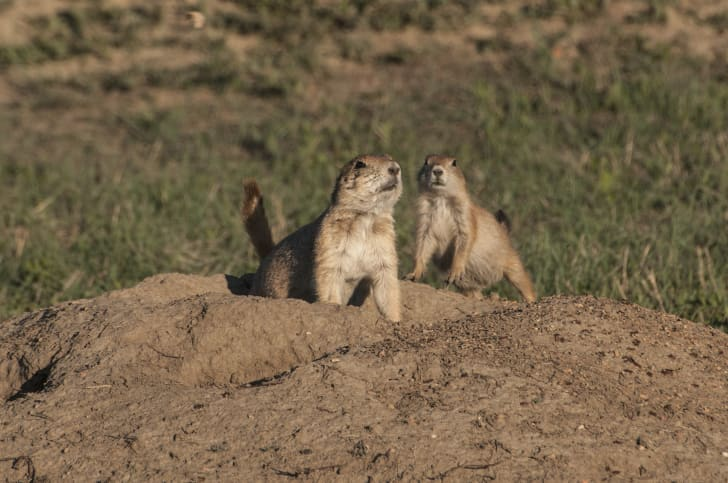 Two black-tailed prairie dogs coming out of a burrow in the ground.