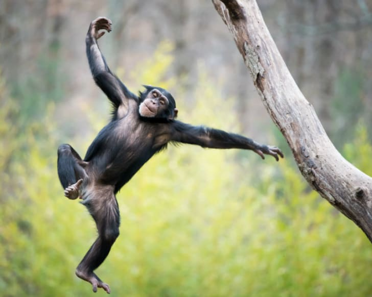 A chimpanzee is pictured