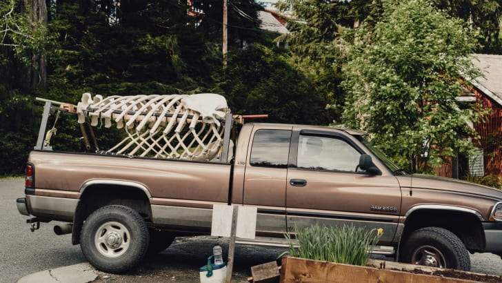 Killer whale rib cage and vertebrae in the back of a pickup truck