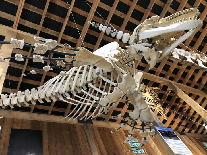 Killer whale skeleton mounted in a museum
