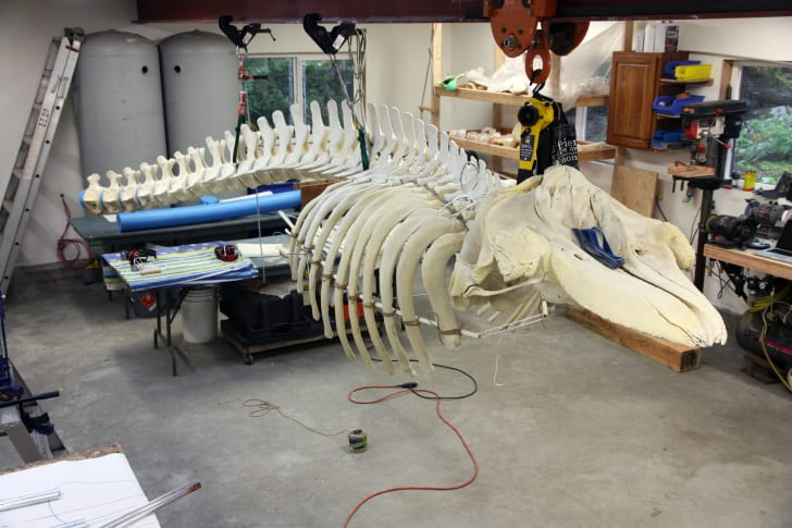 Killer whale skull, vertebrae, and ribs mounted on steel supports