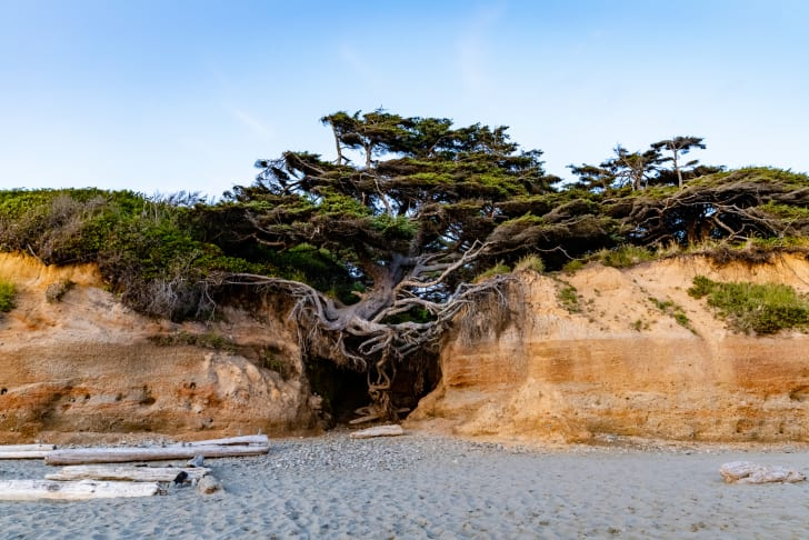 Tree of Life on Kalaloch Beach, Washington