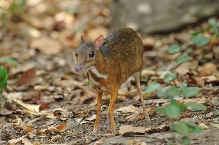 Chevrotain in a woodland