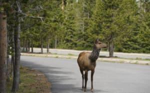 Yellowstone, wildlife