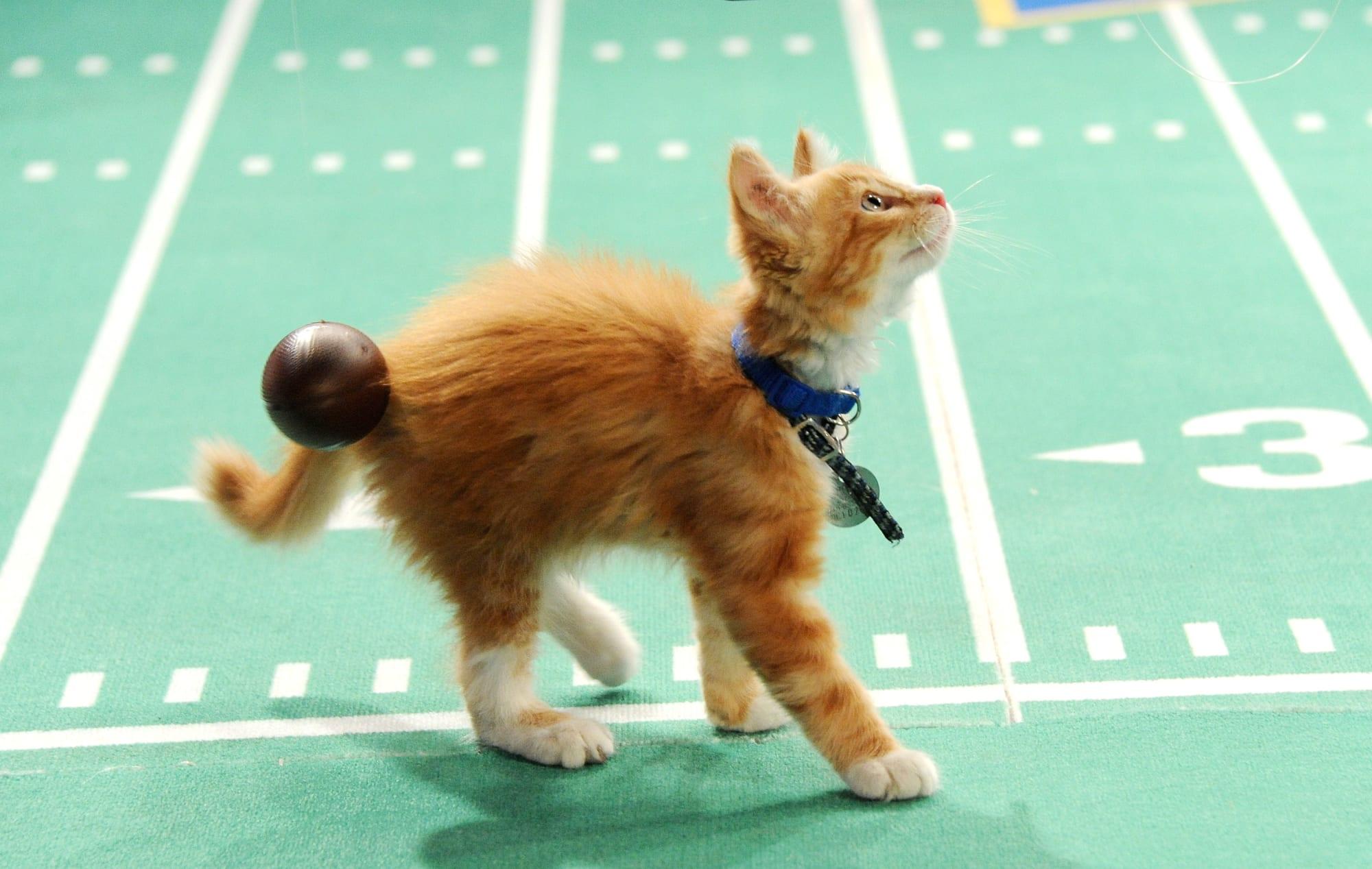 Kitten Bowl On Supurr Bowl Sunday Weekend Idaho Humane Society